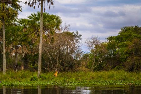 Wild swamp deer the Provincial Ibera park at Colonia Carlos Pellegrini, Argentina Imagens