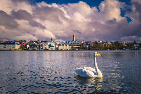 Reykjavik - May 02, 2018: White Swan in Tjornin Lake in Reykjavik, Iceland