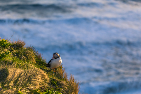 Dyrholaey - May 04, 2018: Wild Puffin bird in Dyrholaey, Iceland Stock Photo