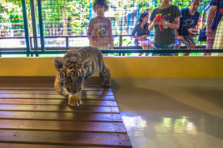 Mae RIm - October 18, 2014: Tiger cub with a tourist in the Tiger Kingdom sanctuary in Mae Rim, Thailand