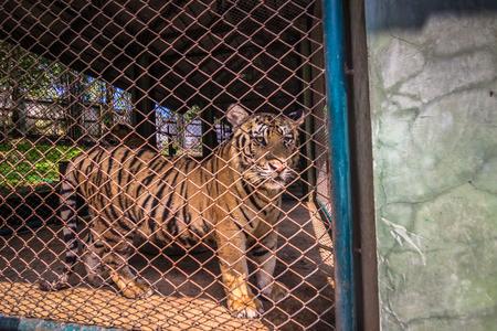 Mae RIm - October 18, 2014: Caged tiger in the Tiger Kingdom sanctuary in Mae Rim, Thailand