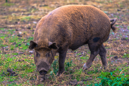 Adult pig on a farm in the Swedish Archipelago, Sweden Stock Photo