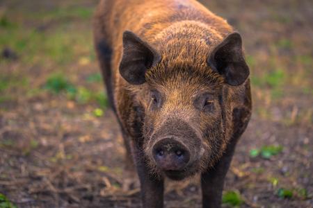 Adult pig on a farm in the Swedish Archipelago, Sweden Фото со стока