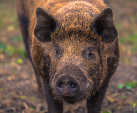 Adult pig on a farm in the Swedish Archipelago, Sweden Stockfoto