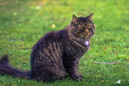 Norwegian forest cat on a farm in the Swedish Archipelago, Sweden Stock Photo