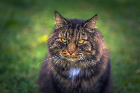 Close up of a Norwegian forest cat on a farm in the Swedish Archipelago, Sweden