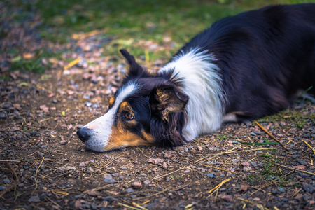 Guard dog on a farm in the Swedish Archipelago, Sweden Stock Photo