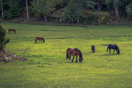 Horses on a farm in the Swedish Archipelago, Sweden