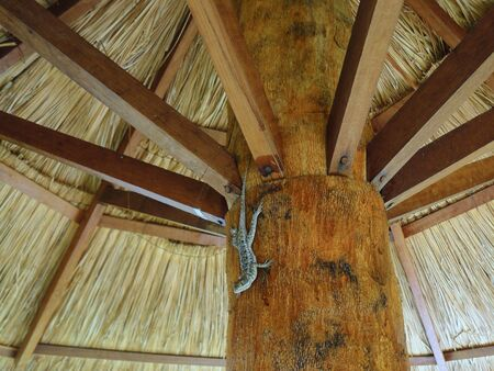 small lizard closeup on a wood trunk sombrero 写真素材