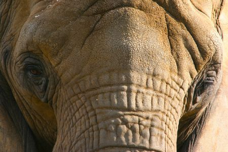 Elephant Closeup Stock Photo