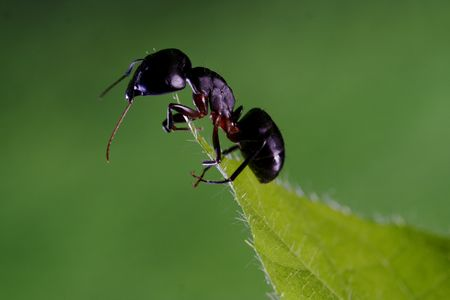 formicidae: Ant on a leaf