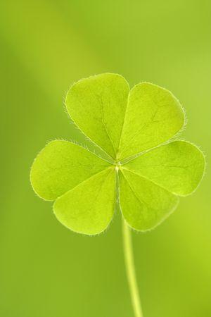Three leaved clover leaf Stock Photo