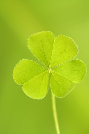 three leafed: Three leaved clover leaf Stock Photo