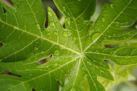 Water droplets on papaya leaf