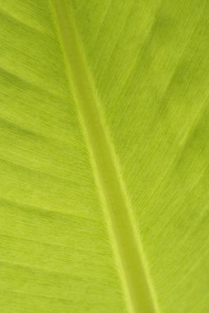 broad leaf: Banana leaf