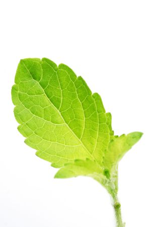 tulasi: Close up of basil leaf Stock Photo