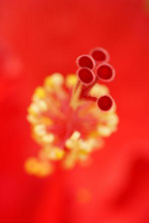 stigmate: La stigmatisation hibiscus rouge  Banque d'images