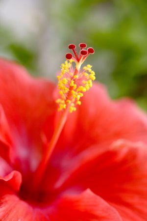 Red hibiscus stigma