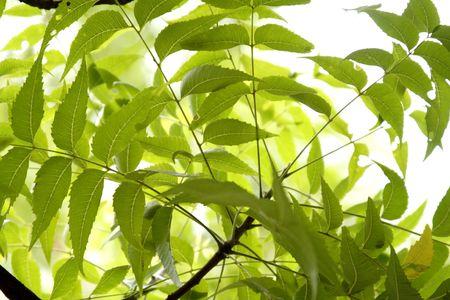 neem: Neem leaves Stock Photo