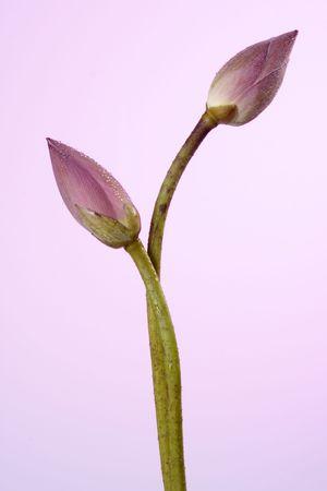 Pink lotus buds Фото со стока
