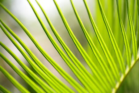 cycad: Bright cycad leaves in sun light
