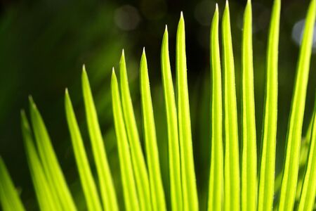 Bright cycad leaves in sun light in a garden photo