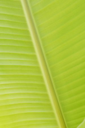 Close up of banana leaf