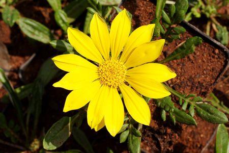 Beautiful yellow daisy photo