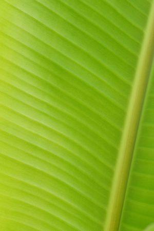 Banana leaf for background photo
