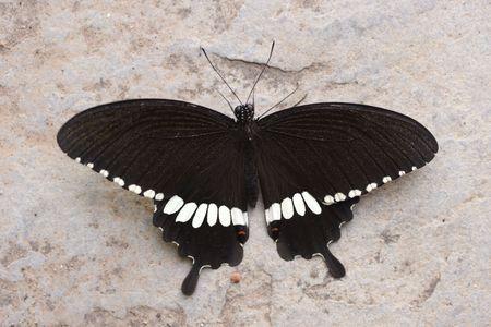 Черная бабочка Фото со стока