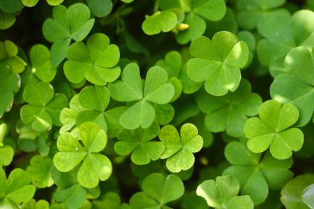 Close up of a bunch of green clover Фото со стока - 88609921