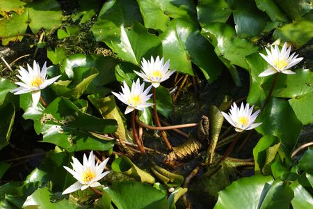Beautiful water lilies in a pond
