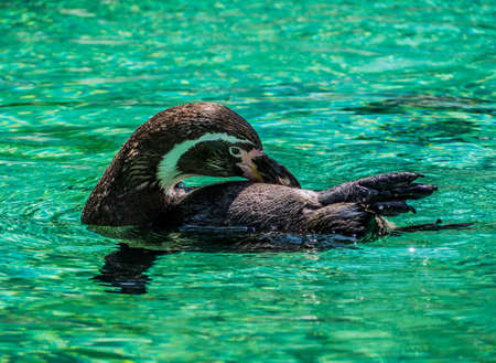 Penguin swimming in the azure water