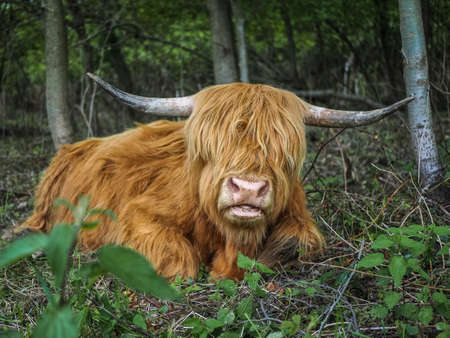 Red scottish cow lying in the forest