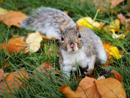 Squirrel sitting on the grass among autumn leaves
