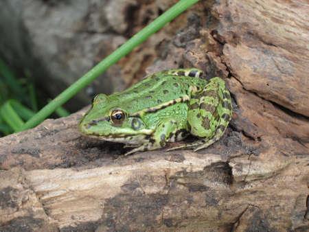 anuran: frog