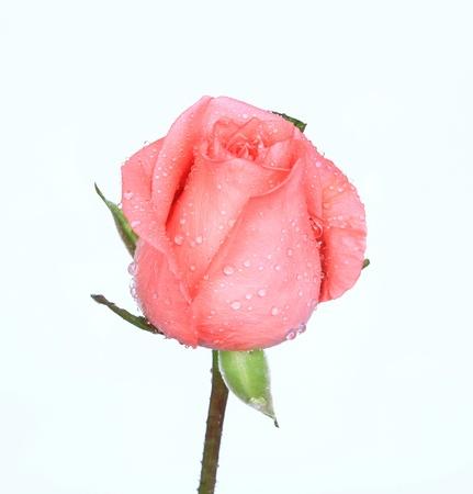 rose on the white background  Reklamní fotografie