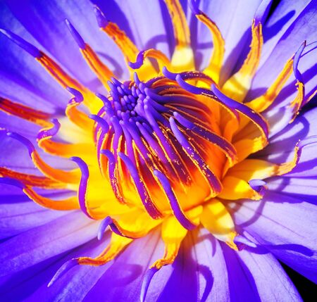 frondage: close up purple lotus flower  Stock Photo