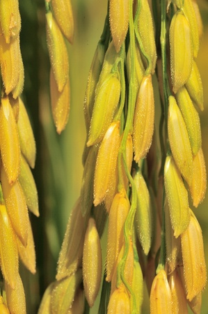 kernels: Close up spike rice Stock Photo