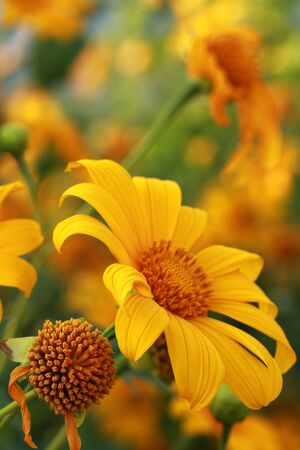pano: Tung Bua Tong (Mexican sunflower weed valley) in Thailand.  Stock Photo