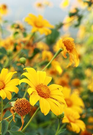 Tung Bua Tong (Mexican sunflower weed valley) in Thailand. Stock Photo - 11473467