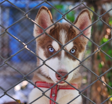 Little  Alaskan Husky in case Stock Photo - 12023529