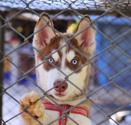 animal shot: Little  Alaskan Husky in case Stock Photo