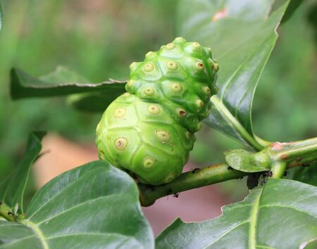 noni: Noni fruit on the tree