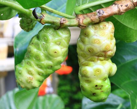 Noni fruit on the tree  photo