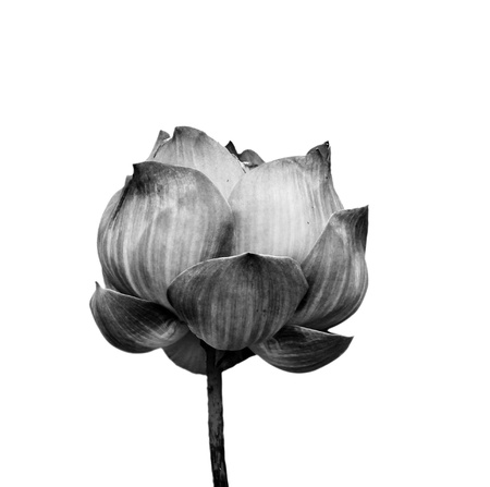 serenity: Lotus flower in black and white isolated on white background  Stock Photo