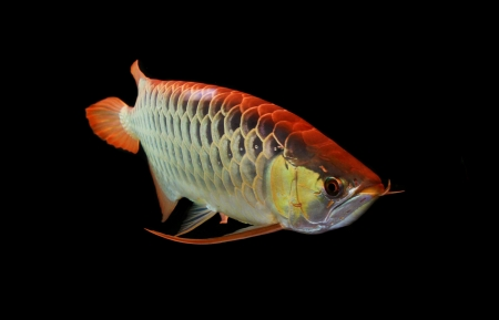 Asian Arowana fish on black background Stock Photo - 17468620