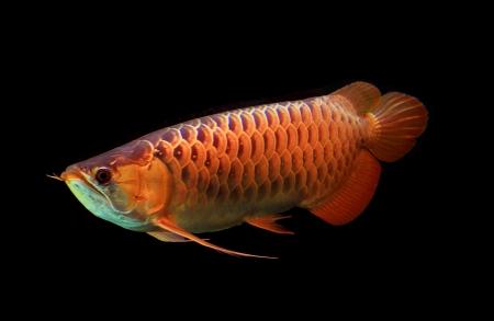 黒の背景にアジア アロワナ魚