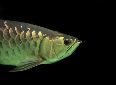 Asian Arowana fish on black background Stock Photo - 18007373