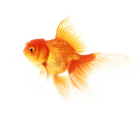gold fish isolated on white  Stock Photo - 18049834